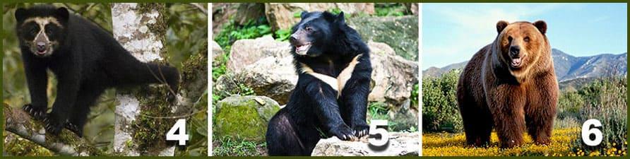 медведи очковый малайский бурый