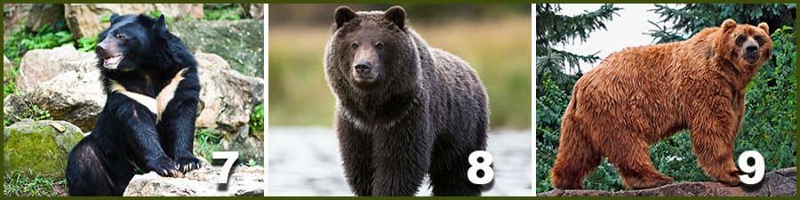 гималайский медведь, гризли, барибал