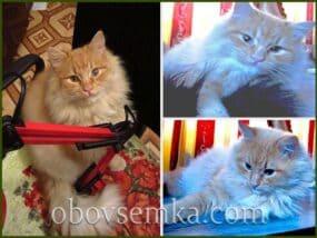 Рись (розповідь про рудого кота)