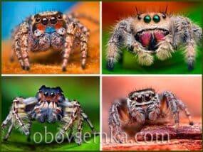 Милі павучки